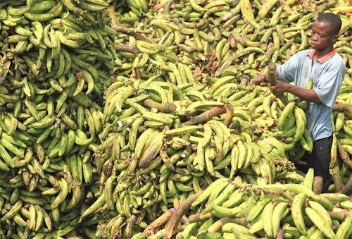 Le Cameroun devient premier producteur africain de bananes et détrône ainsi la Côte-D'Ivoire
