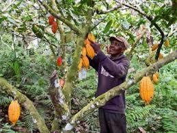 Rapport de l 'INEGE sur la production et la hausse du prix du cacao en Guinée équatoriale !!!