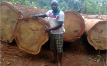Matières premières : La Guinée Equatoriale devenue premier fournisseur des grumes d'Okoumé subit fortement la concurrence du bois Indonésien en Europe