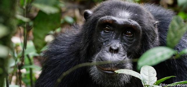 Des gorilles et des chimpanzés plus nombreux que prévu mais toujours menacés