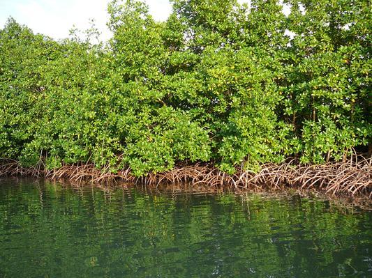 Environnement  : Journée internationale  pour la conservation de l 'écosystème des Mangroves : qu 'en est -il de la Guinée Equatoriale ?